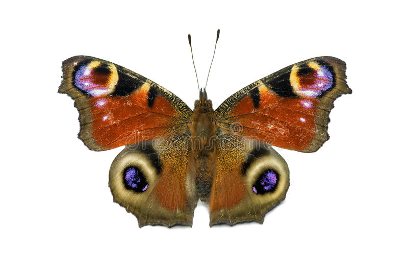 Aglais io butterfly isolated stock image