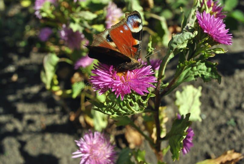 Aglais io europeisk påfågel, sammanträde för påfågelfjäril på den rosa asterMichaelmas tusenskönan arkivbilder