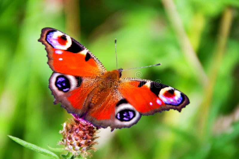 Aglais io/Peacock butterfly royalty free stock photography