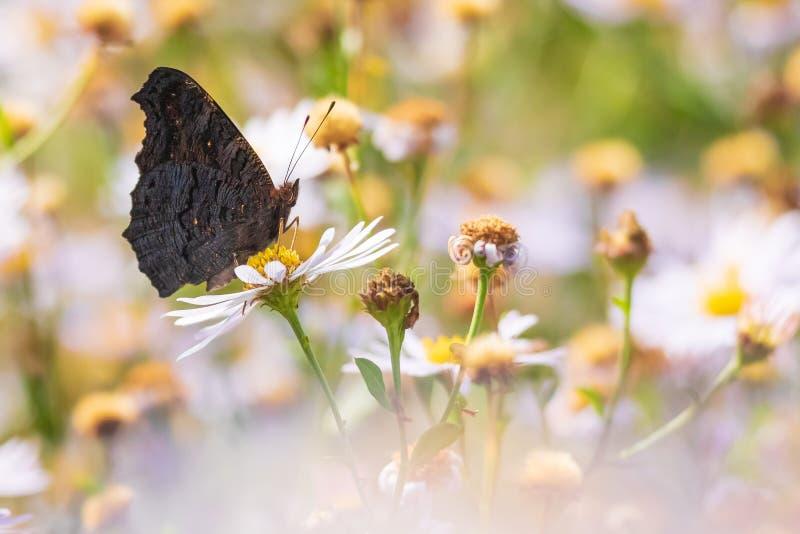 Aglais io, Polinização da borboleta Peacock imagem de stock royalty free