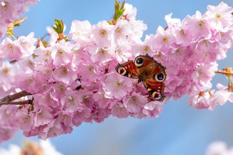 Aglais io som för påfågelfjäril samlar nektarpollen från den vita rosa körsbärsröda blomningen i tidig vår royaltyfri fotografi