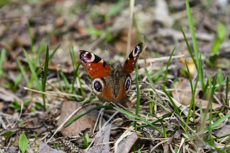Aglais milberti拉特 - 从类Aglais,蛱蝶科蛱蝶科的家庭的昼夜蝴蝶 免版税库存图片
