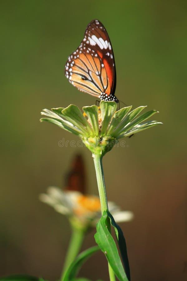 aglais motyliego kwiatu mennicy s urticae fotografia royalty free