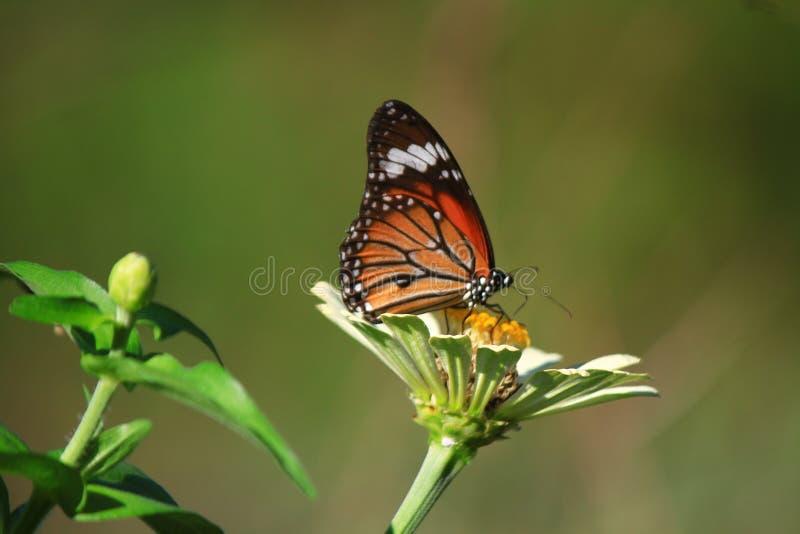 aglais motyliego kwiatu mennicy s urticae zdjęcie stock