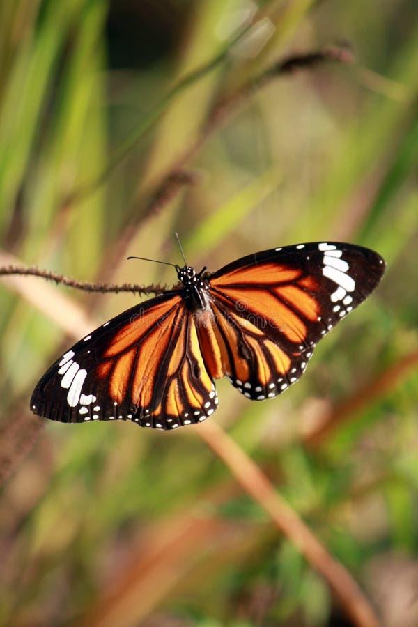 aglais motyliego kwiatu mennicy s urticae zdjęcie royalty free