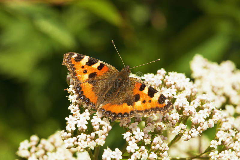 Download Aglais urticae - butterfly stock image. Image of macro - 15511381
