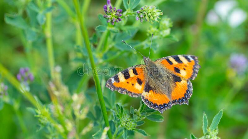 Aglais urticae butterfly orange with black. A common butterfly in Europe, a wild insect with bright beautiful wings. Butterfly. Feeds on pollen in a flowering stock photography