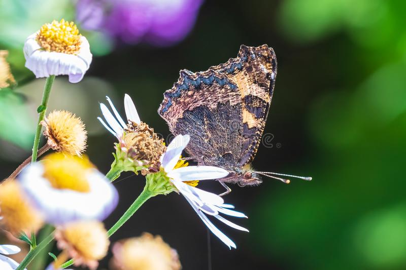 Aglais urticae small tortoiseshell butterfly side view closed wings isolated by nature. Small tortoiseshell Aglais urticae butterfly closed wings detailed side stock photos