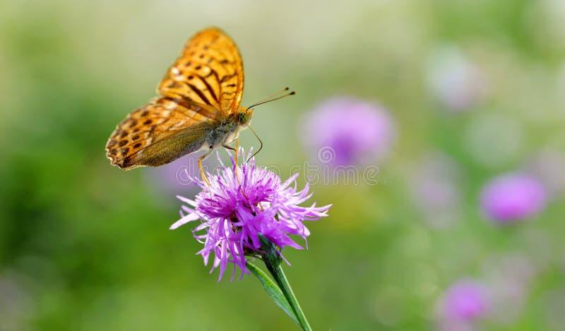 Aglaja vert-foncé d'Argynnis de papillon de fritillaire se reposant sur une fleur pourpre photo libre de droits