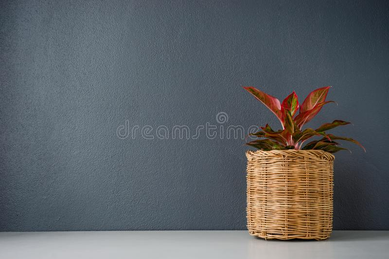 Aglaonema或汉语在柳条筐的Erergreen 免版税图库摄影