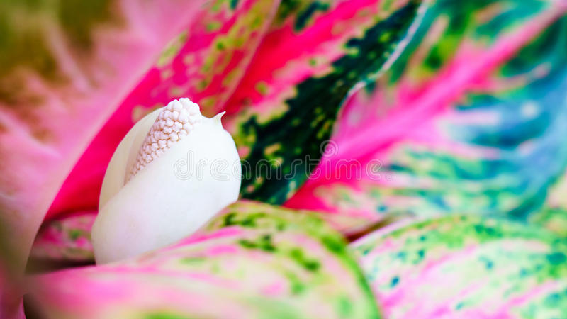 Aglaonema, китайский конец цветка вечнозеленого завода вверх стоковые фото