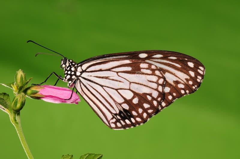 Aglea/borboleta de Parantica na flor imagem de stock royalty free