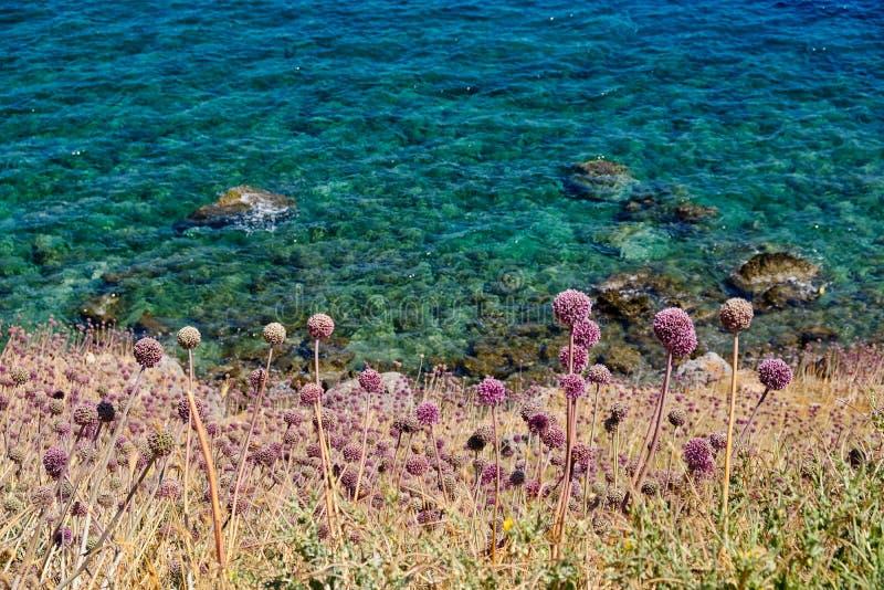 Aglio selvaggio che cresce accanto al mare, Monemvasia, Grecia immagini stock