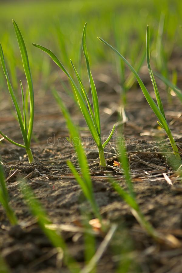 Aglio soleggiato e verde sull'azienda agricola immagine stock libera da diritti