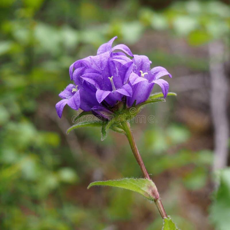 Aglomeração da campainha da flor (glomerata da campânula) fotos de stock royalty free