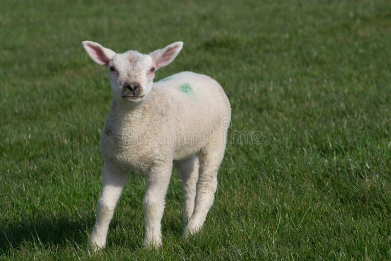 Agneau blanc se tenant sur l'herbe faisant face à l'appareil-photo photo stock