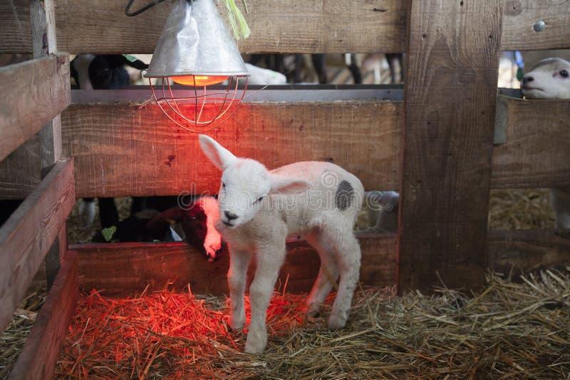 Agneau blanc sous la lampe de chaleur dans la grange de la ferme organique en Hollande images libres de droits