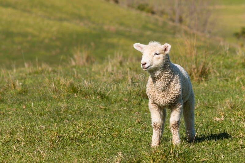 Agneau curieux se tenant sur l'herbe image libre de droits