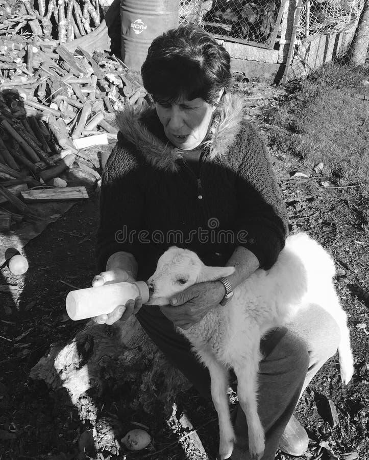 agneau de alimentation de femme photo stock