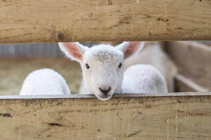 agneau de bébé regardant par la barrière image stock