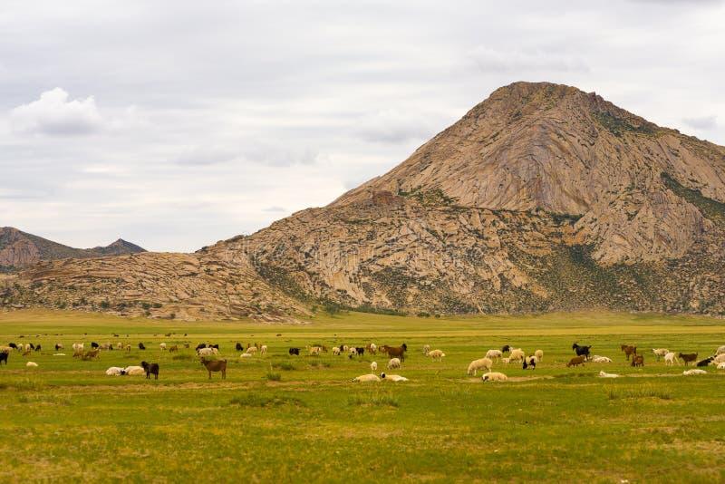 Agneau de moutons de chèvres frôlant la steppe mongole images stock