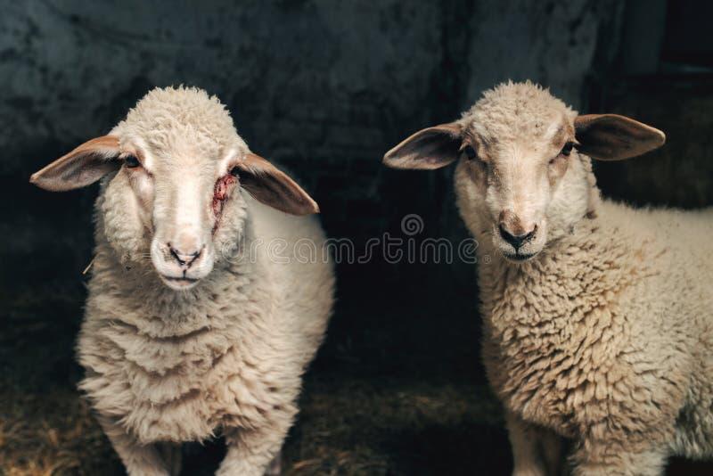 Agneau de moutons dans la grange de ferme image stock