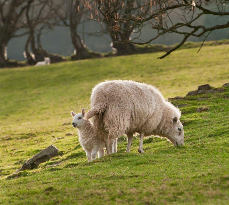 agneau et brebis b lier d 39 ovis sur le flanc de coteau d. Black Bedroom Furniture Sets. Home Design Ideas