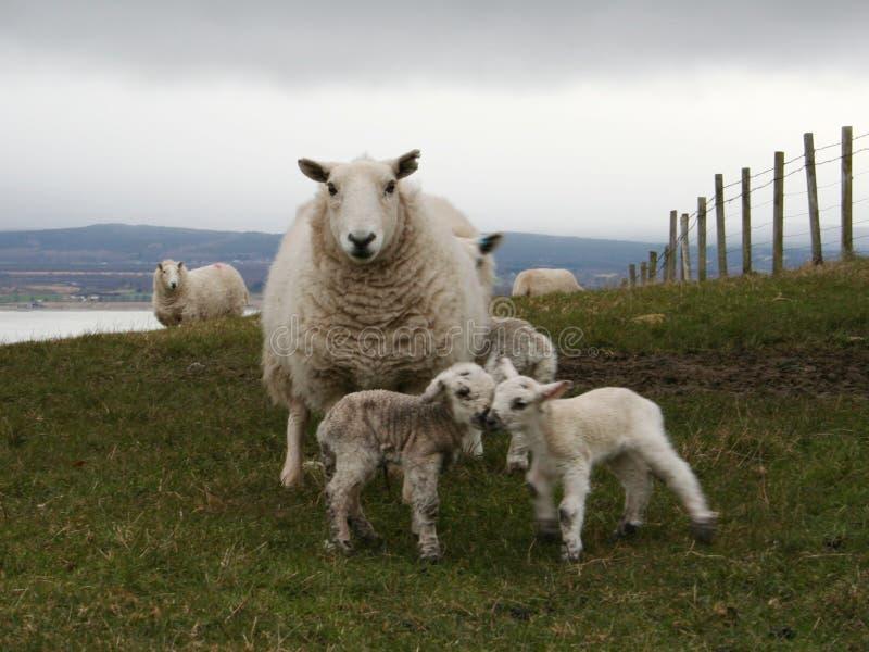 Agneau et moutons image stock