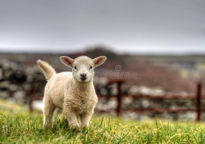 Agneau irlandais photos stock