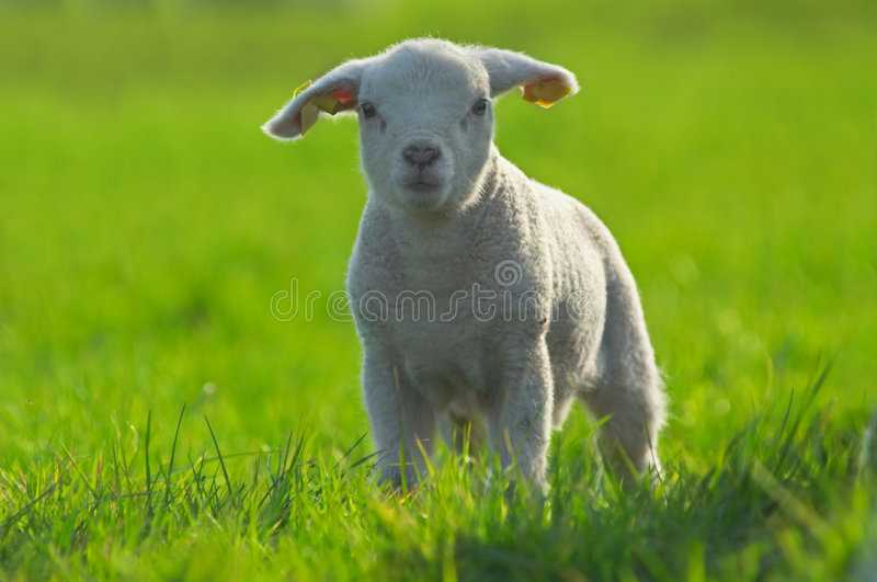 Agneau mignon sur l'herbe verte stockfotografie