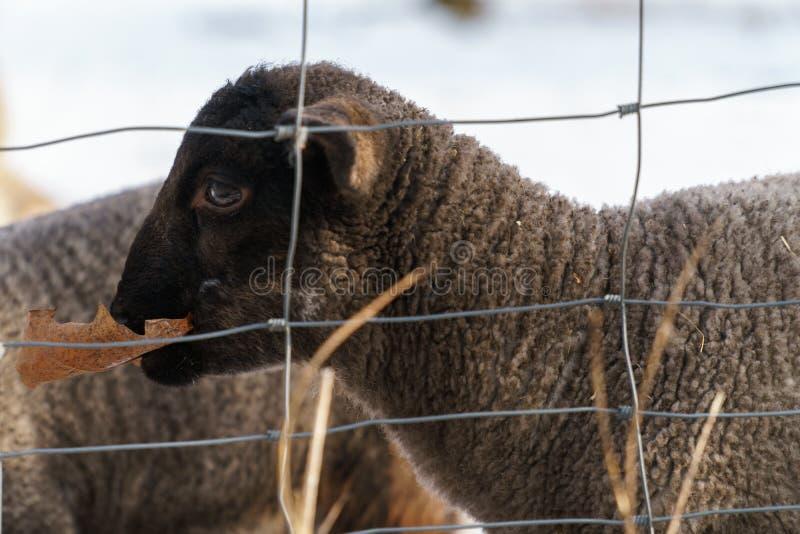 Agneau noir mignon mangeant une feuille sèche photo libre de droits