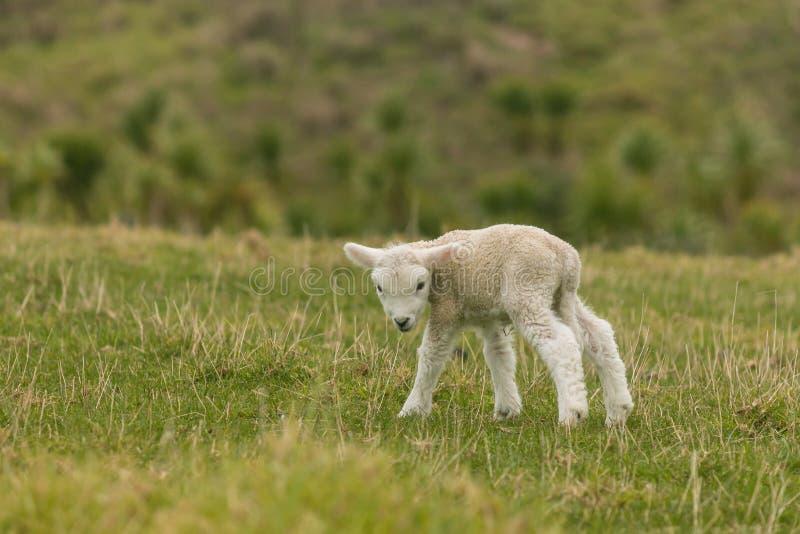 Agneau nouveau-né sur le pré photographie stock libre de droits