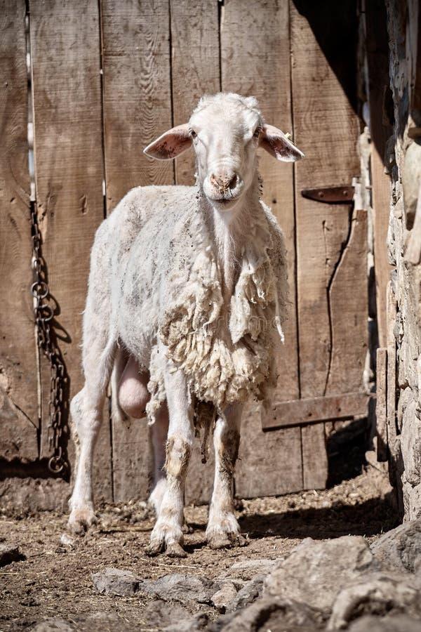Agneau se tenant devant une porte de grange en bois images libres de droits