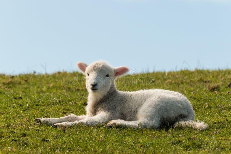 Agneau se trouvant sur l'herbe images stock