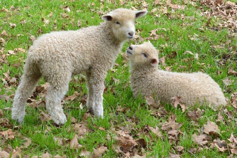 agneaux photographie stock