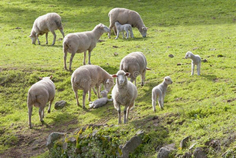 Agneaux de Pâques et moutons mérinos photo stock