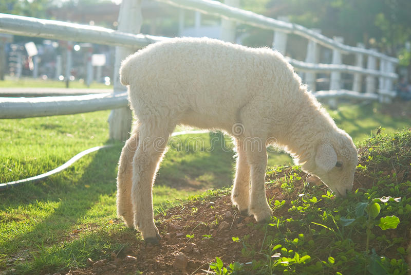 Agnelez en mangeant l'herbe sur la zone image libre de droits