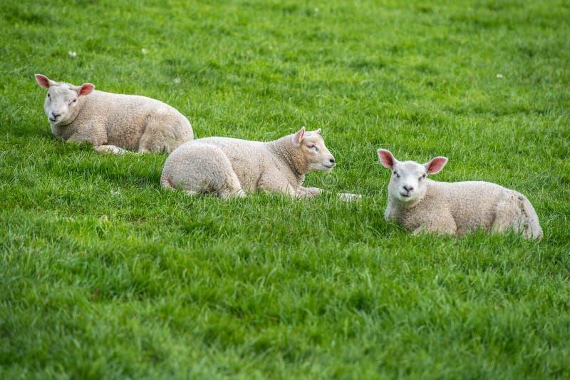 Agnelez les enfants de mêmes parents s'étendant dans l'herbe verte sur la ferme photographie stock