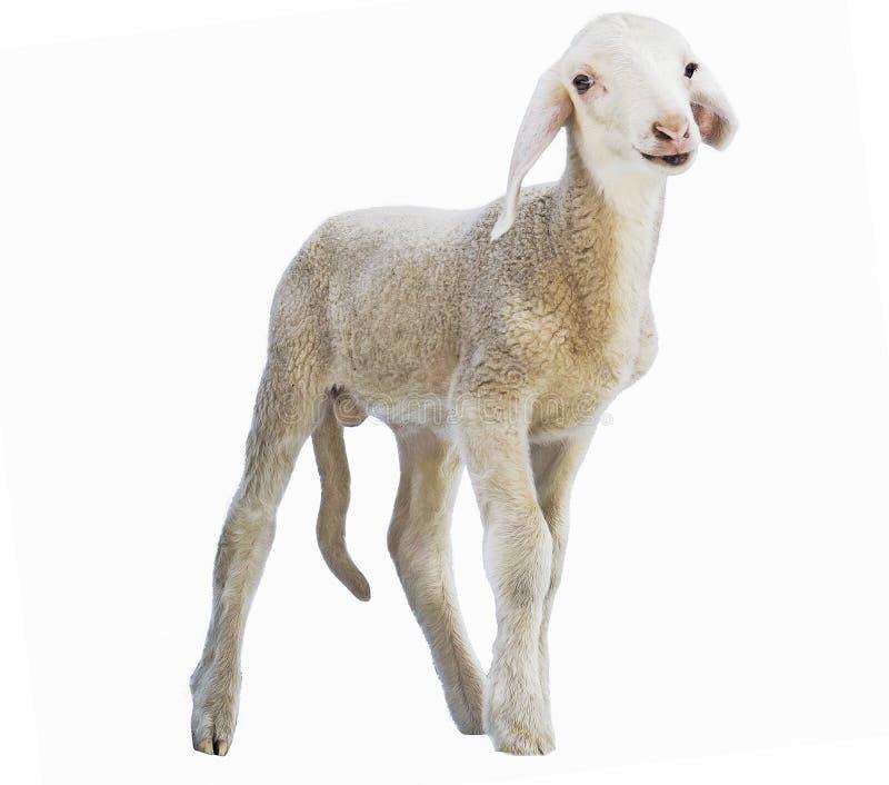 Agnelez sur le fond blanc, cultivant, animal, fond ongulé et blanc image libre de droits