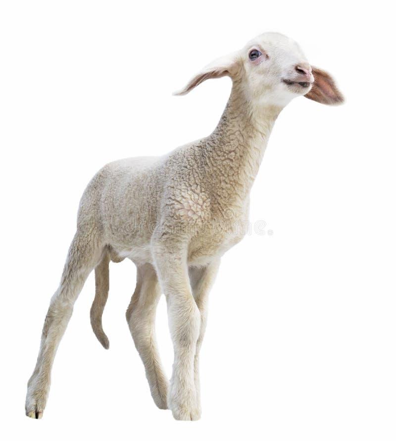 Agnelez sur le fond blanc, cultivant, animal, fond ongulé et blanc photos stock