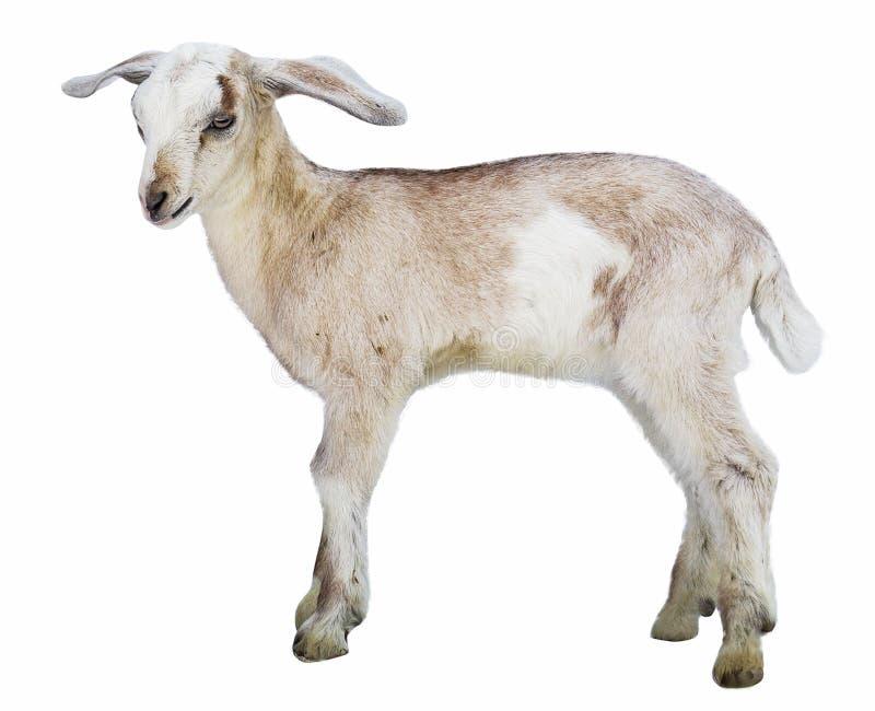 Agnelez sur le fond blanc, cultivant, animal, fond ongulé et blanc photo stock