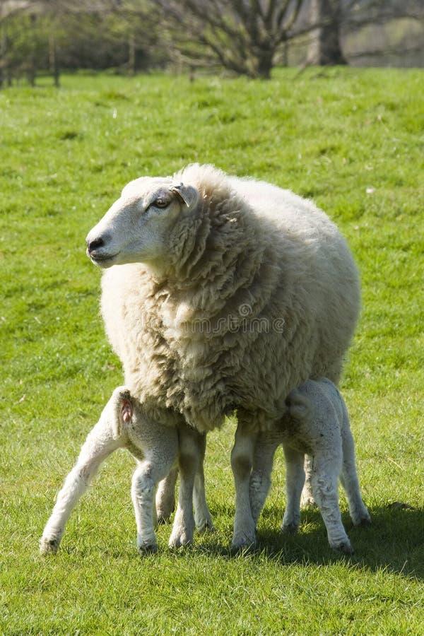 Agnelli d'alimentazione delle pecore fotografia stock