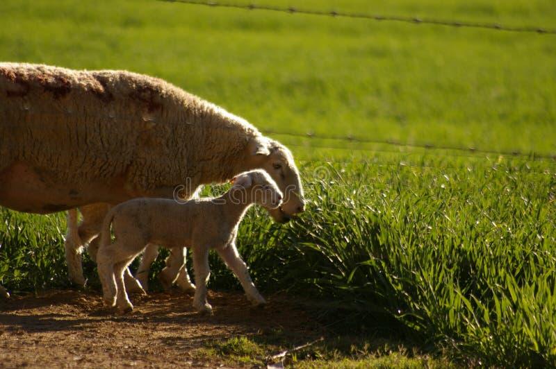 Agnelli da latte svegli con la loro madre che si alimenta i campi di erba verde immagini stock