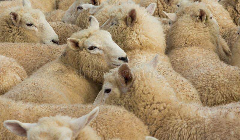 Agnelli della lana fotografia stock