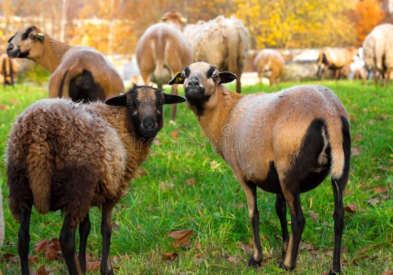 Agnelli delle pecore dell'azienda agricola immagini stock libere da diritti