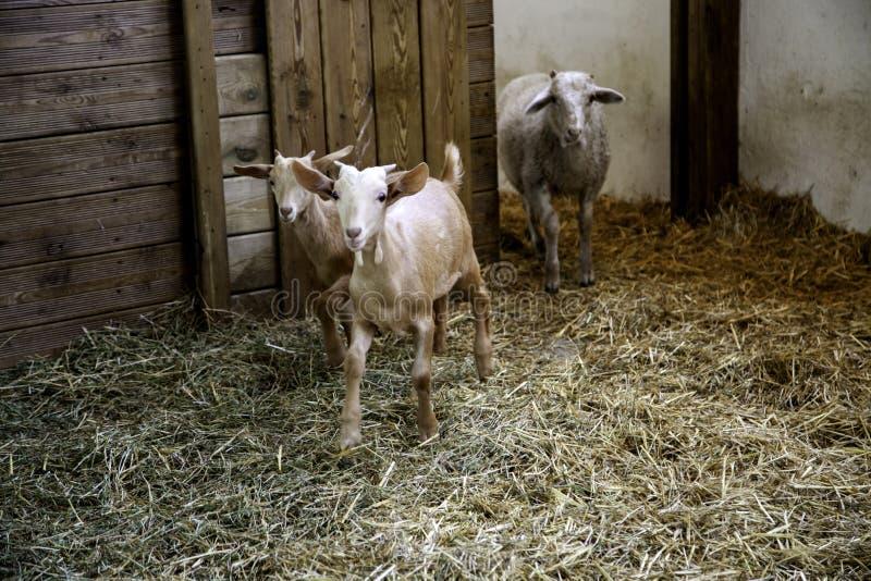 Agnelli e allevamento di pecore immagine stock libera da diritti