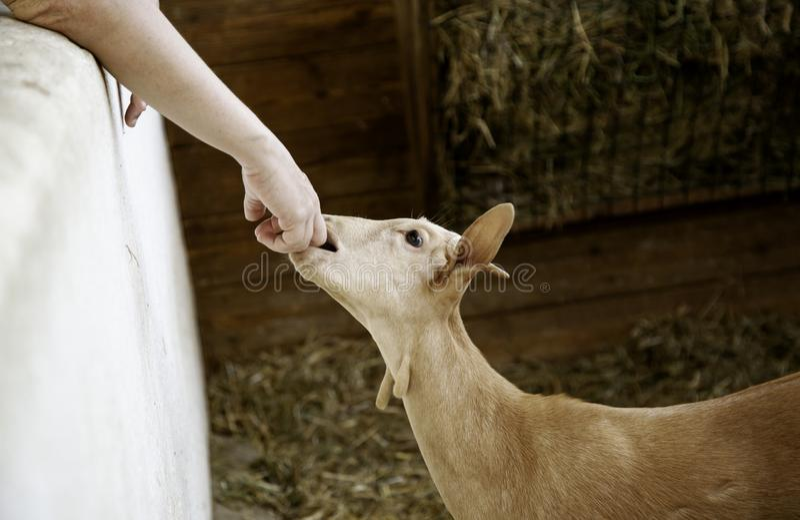 Agnelli e allevamento di pecore fotografia stock libera da diritti