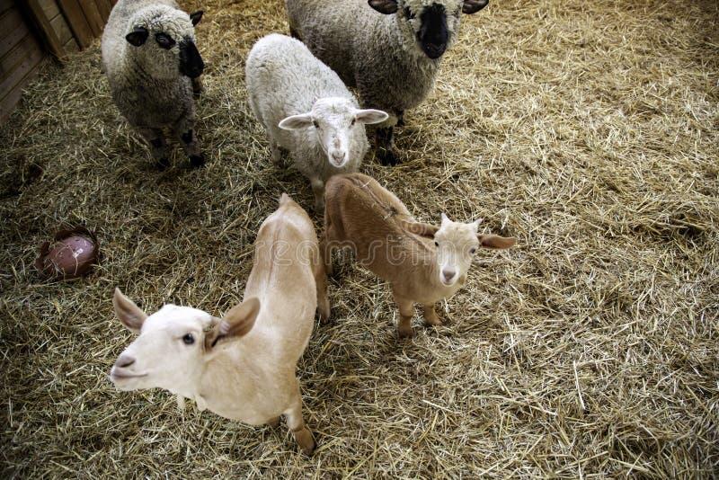 Agnelli e allevamento di pecore fotografie stock