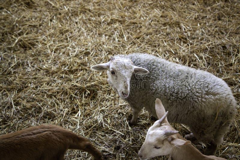 Agnelli e allevamento di pecore fotografia stock
