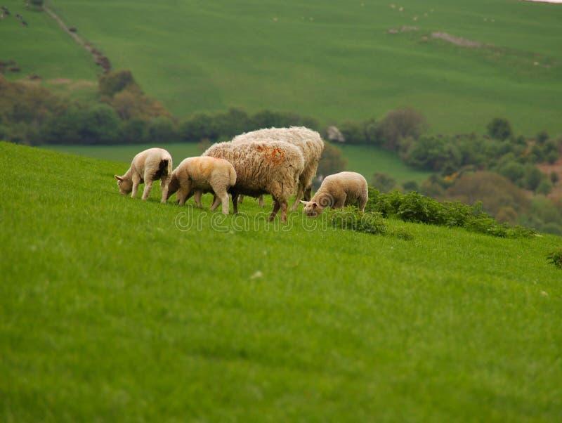 Agnelli e pecore che pascono fotografia stock libera da diritti